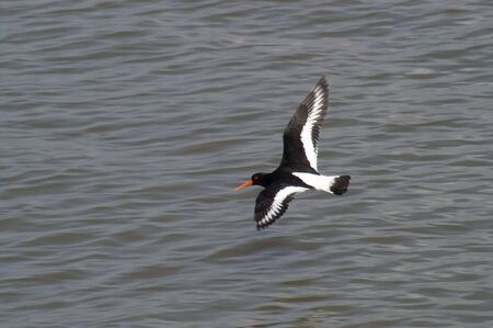 Eurasian Oyster Catcher flying over rippled water Stock Photo - 3325880