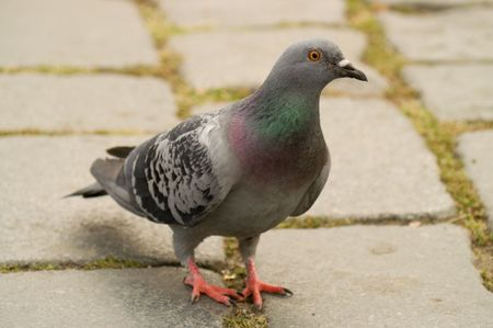 Close up of a pigeon against a blurred background