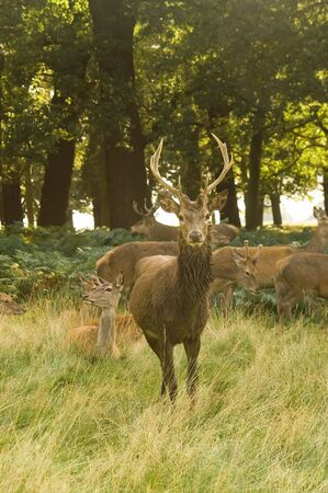 Stag deer portrait in a meadow against forest