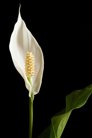 Peace Lily, Spathiphyllum wallisii, isolated against black background