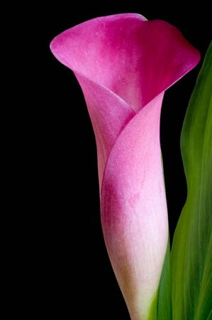 Pink calla lily detailing flower and leaves against black background