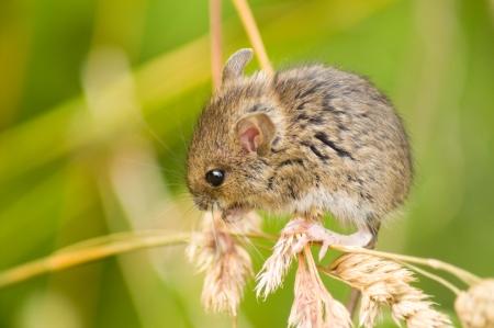 roedor: Rat�n de campo sobre el c�sped