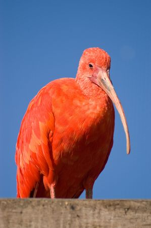 Scarlet Ibis, Eudocimus ruber, close up against clear blue sky photo