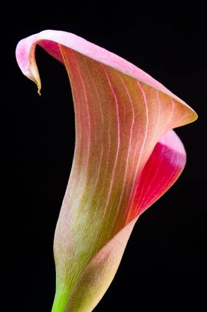 Pink Calla lilly macro isolated against black background