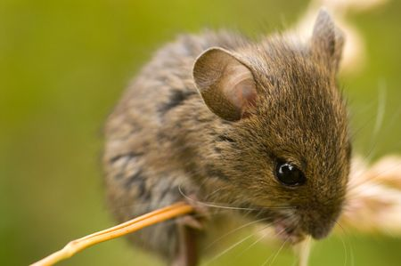 Field mouse on golden grass against blurred green background