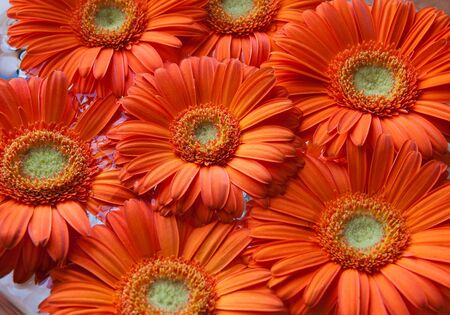 Several orange gerbera flowers suitable for background