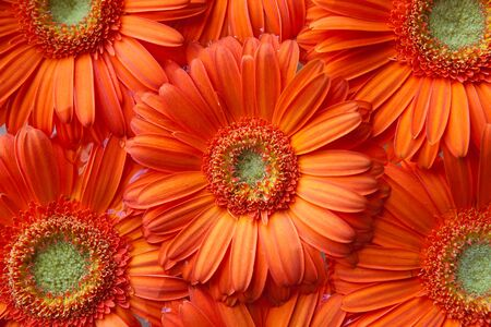 Several orange gerbera flowers with focus on one central one, suitable for background