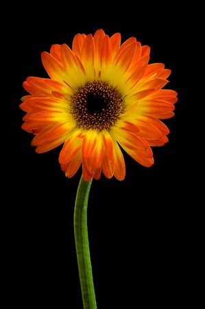 Yellow and Red Gerbera against black background