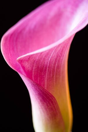 Close up macro of pink calla lily isolated against black background