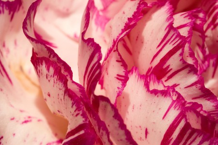 Carnation petals abstract macro, suitable for background