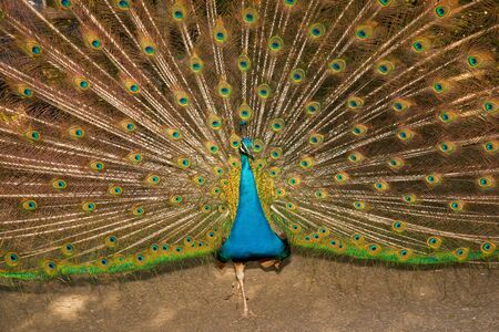 Detail of peacock displaying tail feathers and body Stock Photo