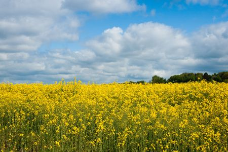 Yellow rapeseed or canola (Brassica napus) field against sky with clouds