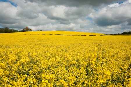 napus: Yellow rapeseed or canola (Brassica napus) field against sky with clouds