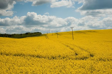 rapaseed: Yellow rapeseed or canola (Brassica napus) field against sky with clouds