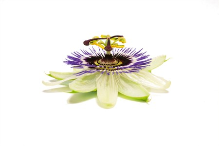 One passion fruit (passiflora) flower isolated against white background