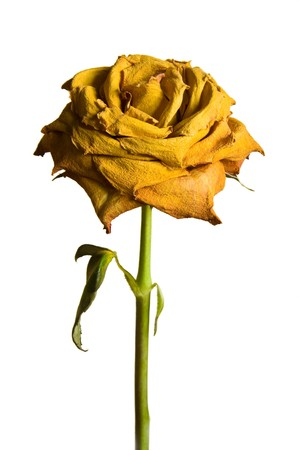 Single dried yellow rose against plain background