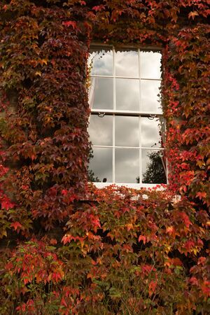 Detail of white wood window with cloud reflection in a wall covered with red and orange ivy