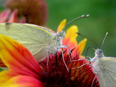 Butterflies photo