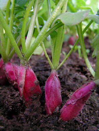 Radish in soil
