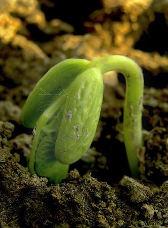 Young bean