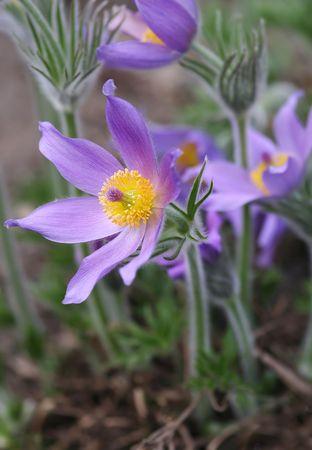 pasque flower Stock Photo - 394119