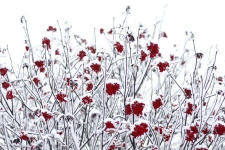 Финляндия: Ягоды рябины, покрытые снегом Фото со стока