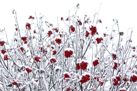 Rowan berries covered with snow Stock Photo - 9166728