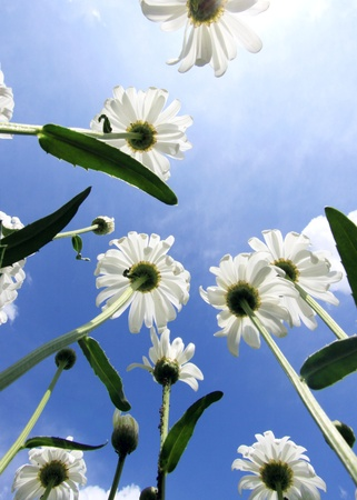 Daisies, view from the bottom