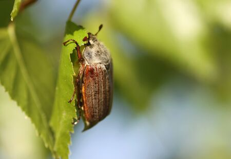 May beetle on a tree