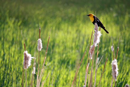 cattails: Yellow headed blackbird on puffy cattails