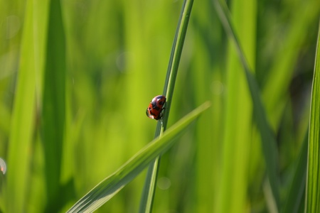 geen: ladybugs in the rice field