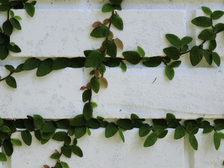 ivy wall: Ivy close up on a white brick wall.