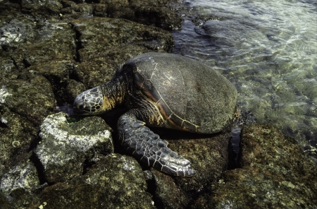 Hawaiian Turtle photo