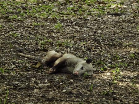 opossum: Opossum Playing Dead
