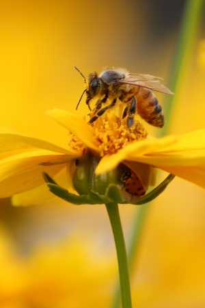 bee on flower: bee gathering pollen and ladybug Stock Photo