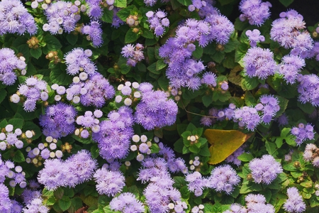 flower beds: Colorful Flower beds of unusual purple perennial herb the family Asteraceae - Floss-flower or Ageratum houstonianum, ageratum Mexican Stock Photo