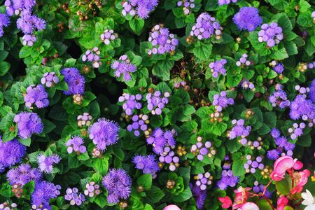 Beautiful flowerbed of blooming flowers Ageratum with bright green leaves in sunlight. Colorful purple background for desktop, posters, web design.