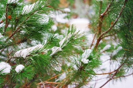 Branch of a conifer covered with snow in winter Park. Beautiful background for Wallpapers, posters, web design.