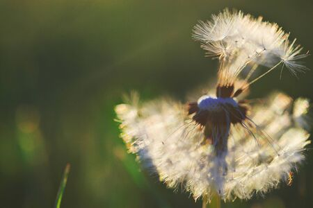 Wonderful image of a dandelion in the wind on the flowery meadow. Abstract background. Through the white dandelion fluff breaks the magical sunlight. Soft blurred colors. Close-up Stock Photo