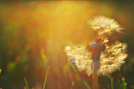 Lonely with half leafless dandelion seeds in evening watch sunset. A lovely image to use in web design, for the design of desktop, Wallpapers, calendars and postcards.