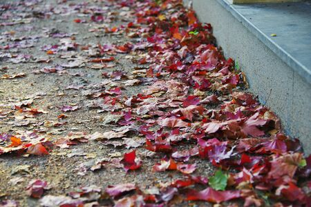 red carpet background: Colorful fallen maple leaves lie on the sidewalk in the city. Close-up, partial blur.