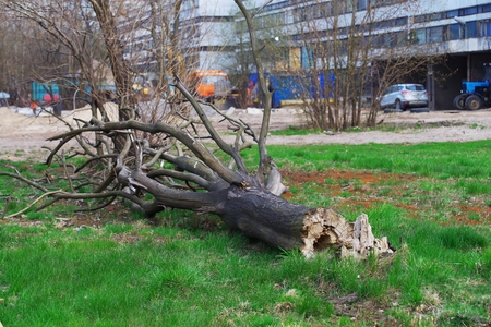 Dry fallen tree, broken by a strong wind, in the alley near an industrial building.