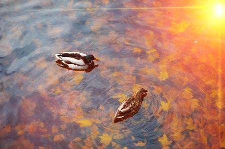 美しいマガモのアヒルが透明な水の中を泳いで、金色の日差し、秋の池に落ちたカエデの葉、トップビューを反映しています。