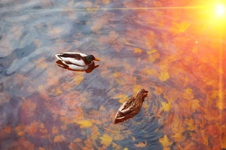 A pair of beautiful mallard ducks swim in the transparent water, reflecting Golden sunlight, the autumn pond with fallen maple leaves, top view. Stock Photo