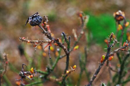 Natural contrast - dried black rose hips on thorny stems near the awakening of the green buds on young shoots in early spring on blurred background. Close-up. Stock Photo