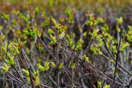 The branches of bushes with blossoming young green leaves on blurred background plantings in early spring, close-up.
