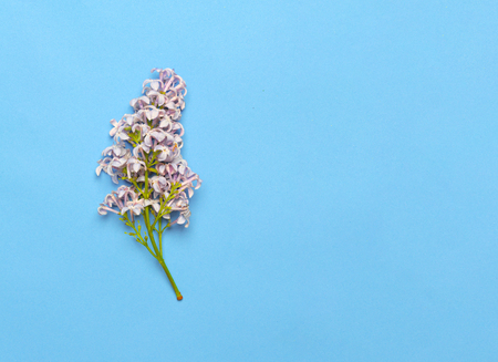 Beautiful Lilac branch isolated on blue background. Flat lay, top view. Spring floral concept Фото со стока