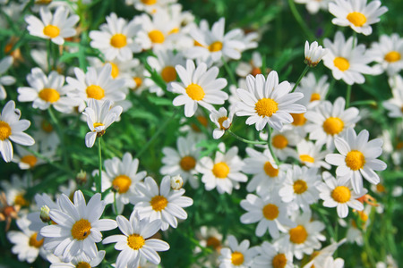 Field of camomiles at sunny day at nature. Camomile daisy flowers, field flowers, chamomile flowers, spring day Imagens