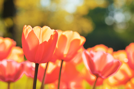 Group of colorful tulip. red, pink, orange, coral flower tulip lit by sunlight. Soft selective focus, close up. Bright tulip photo on thrive green background Trendy color.