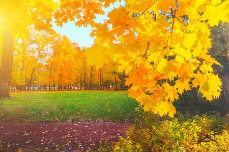 Autumn yellow closeup Bright orange maple tree